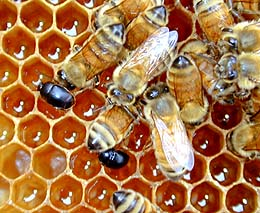 bees_hivebeetlemed.jpg