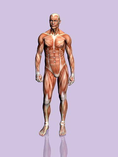 diagrams of human body. Human Body Muscle Diagram