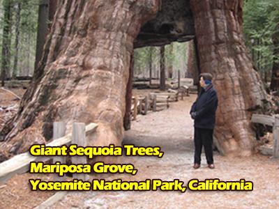 giant-sequoia.jpg