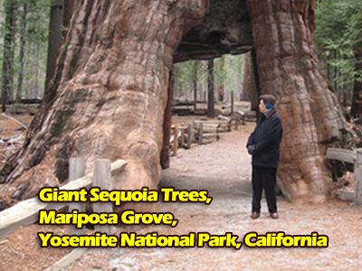 giant-sequoia.jpg